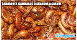 Gammarus shrimps dried bulk food koi