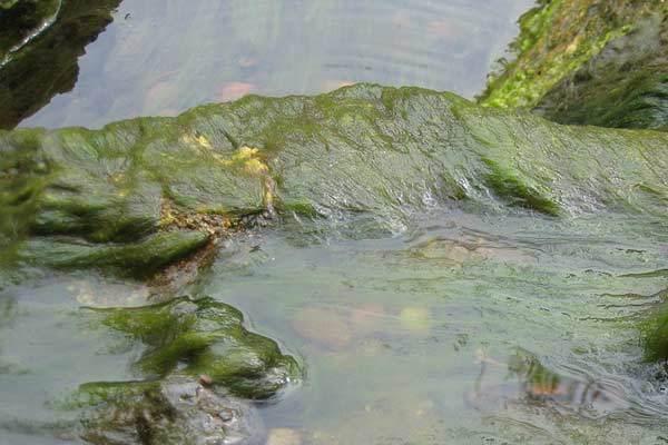 aquaactiv algodirect oase elimina algas filamentosas del